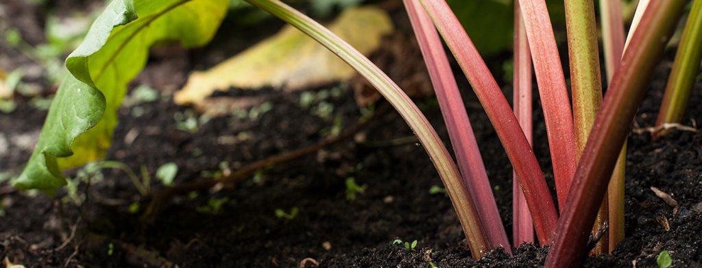 Rhabarber pflanzen und ernten